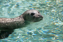 Harbor seal (Phoca vitulina). Also known as the common seal. Wildlife animal Stock Photo