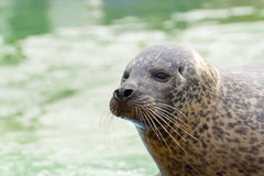 Harbor seal (Phoca vitulina) Stock Photos
