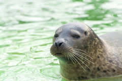 Harbor seal (Phoca vitulina) Stock Images