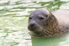 Harbor seal (Phoca vitulina) Royalty Free Stock Images