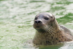 Harbor seal (Phoca vitulina) Royalty Free Stock Photo