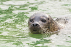 Harbor seal (Phoca vitulina) Royalty Free Stock Image