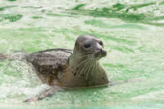 Harbor seal (Phoca vitulina) Stock Photography