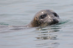 Harbor Seal. Phoca vitulina. Common seal. Pacific ocean Stock Images