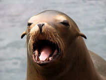 Harbor Seal (Phoca vitulina) Face. Head shot (face and open mouth) of a Harbor Seal (Phoca vitulina Stock Photos