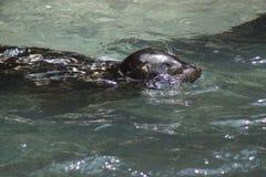 Harbor Seal - Phoca vitulina Stock Images