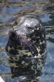 Harbor Seal - Phoca vitulina Stock Image