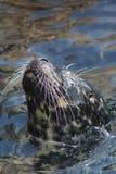 Harbor Seal - Phoca vitulina Royalty Free Stock Photography