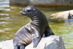 Harbor seal (Phoca vitulina) Stock Photography