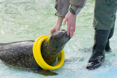 Harbor seal (Phoca vitulina) Stock Image