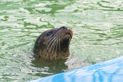 Harbor seal (Phoca vitulina) in the water Royalty Free Stock Photo