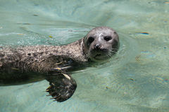 Harbor seal Phoca vitulina Royalty Free Stock Photography