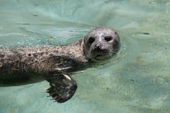 Harbor seal Phoca vitulina Royalty Free Stock Photography