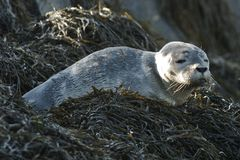 Harbor Seal Pup Royalty Free Stock Photography