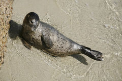 Harbor Seal Pup 4 Stock Photo
