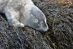 Harbor Seal Pup With Fluffy Gray Fur Sleeping on Seaweed. Fluffy gray harbor seal pup sleeping on seaweed in Maine stock photos