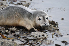 Harbor Seal Pup at the Ocean's Edge. Harbor seal pup contemplating taking the plunge in the ocean Royalty Free Stock Image