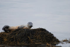 Harbor Seal Pup Perched on a Rock Stock Photography