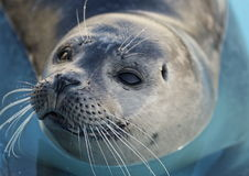 Harbor Seal Pup Stock Photos