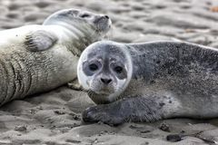 Harbor Seal Pups Stock Photography