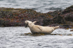 Harbor seal relaxing on a rock Stock Images