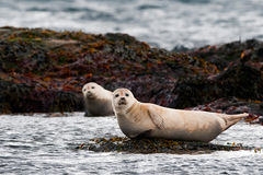 Harbor seal relaxing on a rock Royalty Free Stock Images