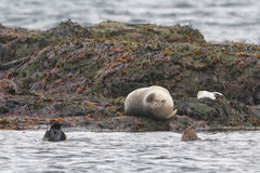 Harbor seal relaxing on a rock Royalty Free Stock Photo