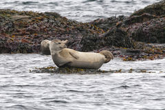 Harbor seal relaxing on a rock Royalty Free Stock Photography