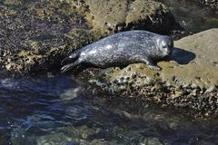 Harbor Seal at Rest Stock Images