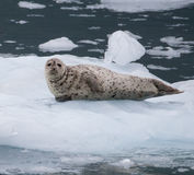 Harbor Seal Royalty Free Stock Image
