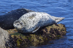 Harbor Seal. Resting on a rock in Monterey Bay, California Stock Image
