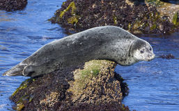 Harbor Seal. Resting on a rock in Monterey Bay, California Royalty Free Stock Image