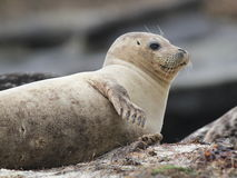 Harbor Seal resting on Side Stock Photography