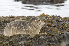 Harbor seal that rests on the rocks at low tide in spring Stock Photos