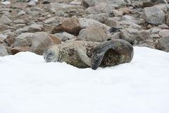 Harbor Seal, Seals, Fauna, Marine Mammal stock images