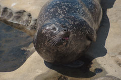 Harbor Seal Stock Images