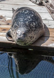 Harbor Seal Seattle Aquarium Stock Photos