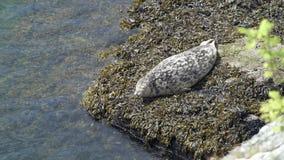 Harbor Seal on Shore Resting 4K UHD