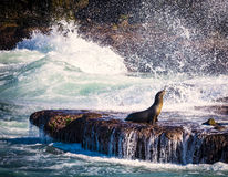 Sea Lion, Surf, La Jolla, California Royalty Free Stock Photos