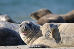 Harbor seal stick one's tongue out Royalty Free Stock Photos