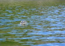 Harbor Seal Surfaces stock images