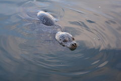 Harbor seal. Swimming in the sea off British Columbia in Canada Royalty Free Stock Photo