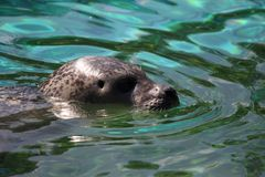 Harbor Seal, Water, Fauna, Mammal stock photography
