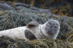 Harbor Seal Waving at His Friends on Seaweed Stock Photo