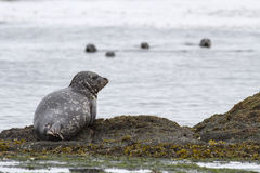 Harbor seal which lies on the edge of the rocks on the shore Stock Photos