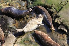 Harbor Seal White Stock Images