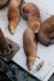 Harbor seal on a wooden landing at Santa Cruz pier Royalty Free Stock Image