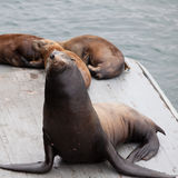 Harbor seal on a wooden landing at Santa Cruz pier Royalty Free Stock Photography