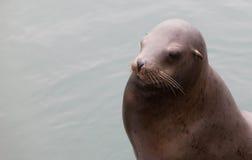 Harbor seal on a wooden landing at Santa Cruz pier Stock Photography