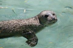 Harbor seal (Phoca vitulina) Royalty Free Stock Photo
